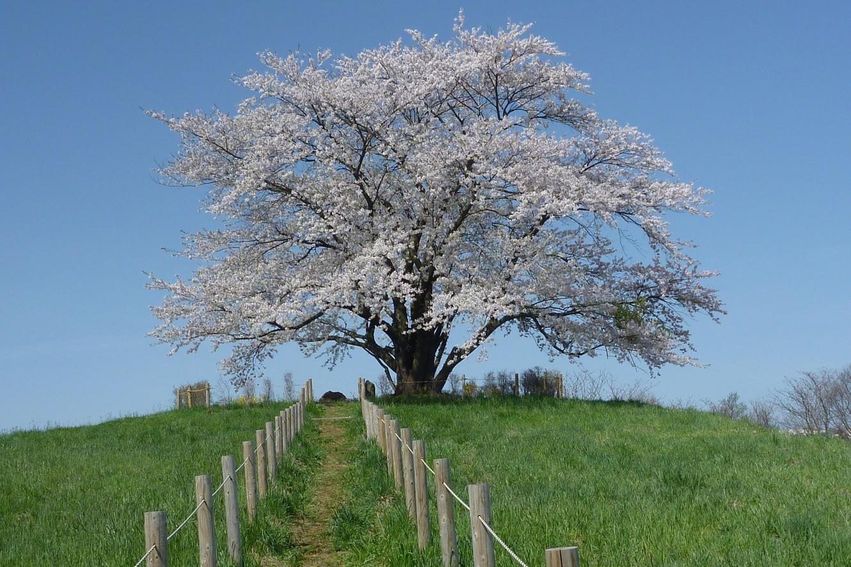 春 為内の一本桜全体t